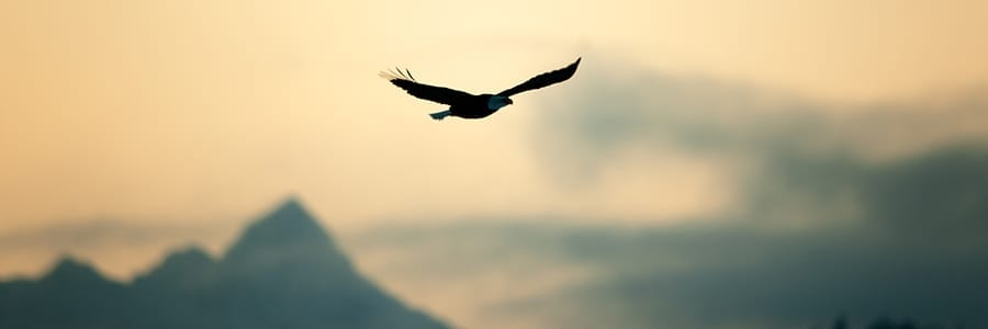 Eagle Flying High at Dusk