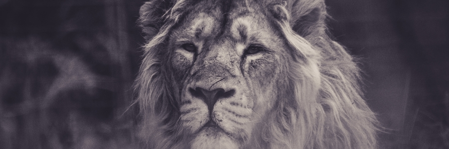 Black & White Lion